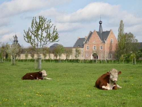 Cows in a field with an old abbey in the background