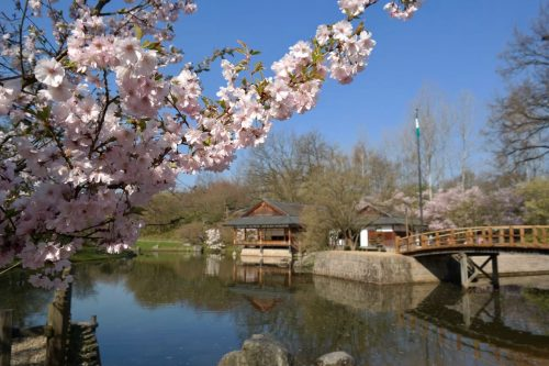 Japanese building on a lake with cherry trees in bloom